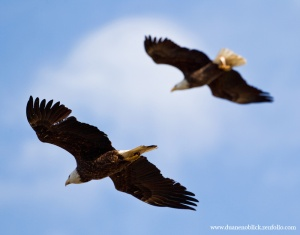 The sight of two bald eagles were majestic and look similar to this.